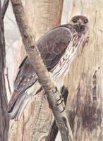 Hawk by Leogon