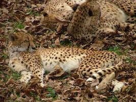 Cheetahs by kiara
