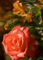 Beautiful Orange Rose by gayatri23119