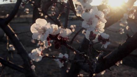 February Blossoms by missrelena