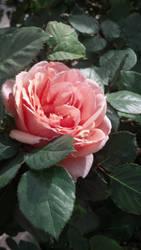 Old World Rose by missrelena