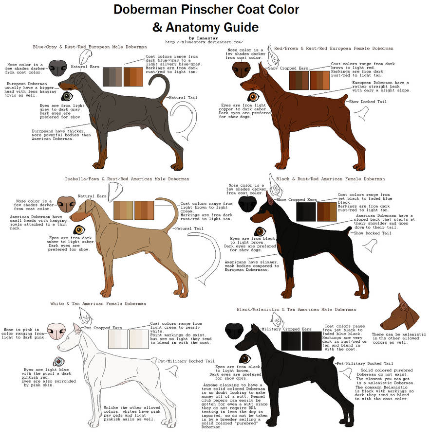 doberman pinscher coat color and anatomy guide by xlunastarx on