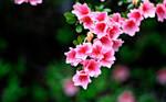 Pink Flowers by Sunira
