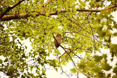 Barred Owl by Sunira