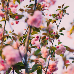 Cherry Blossoms by Sunira