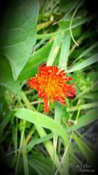 Fire flower. by artekoublier