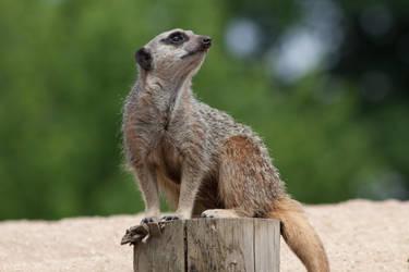 Meerkat by DaemonReality
