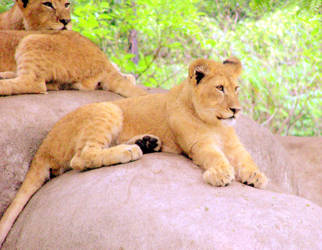 Lion cubs by rwgp