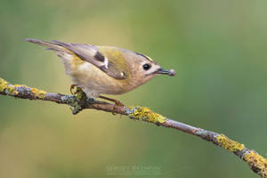 Goldcrest With Prey by Sergey-Ryzhkov