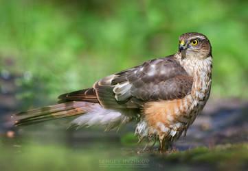 Sparrowhawk by Sergey-Ryzhkov