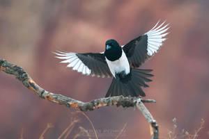 Eurasian magpie in flight by Sergey-Ryzhkov