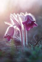 Small Pasque Flower by Sergey-Ryzhkov