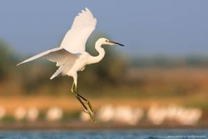 Little egret in flight by Sergey-Ryzhkov