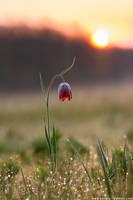 Fritillary flower on background of sunrise by Sergey-Ryzhkov