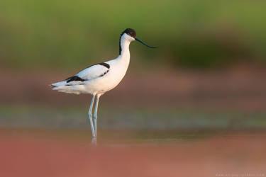Pied avocet (Recurvirostra avosetta) by Sergey-Ryzhkov