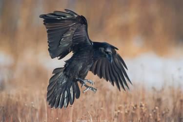 Raven In Flight by Sergey-Ryzhkov