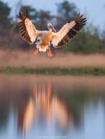 Great white pelican in flight by Sergey-Ryzhkov