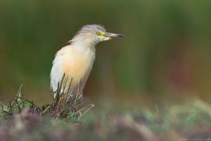 Squacco heron (Ardeola ralloides) by Sergey-Ryzhkov