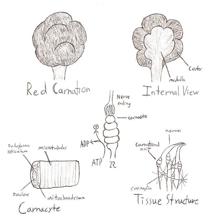 red carnation anatomy by eddy1701 on deviantart Water Lily Anatomy red carnation anatomy by eddy1701