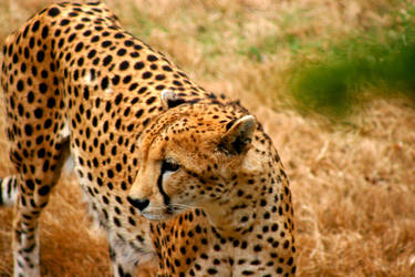 cheetah cut 2 by TlCphotography730