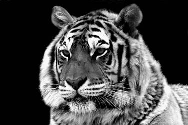 tiger project in bw by TlCphotography730