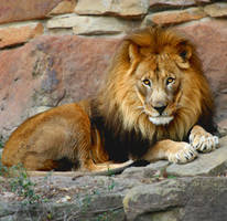 lion eyes by TlCphotography730