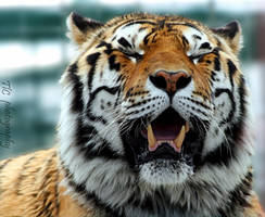 Tiger smile by TlCphotography730