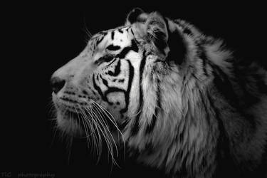 White tiger face ( revised ) by TlCphotography730