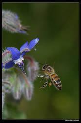 Balbocegi-Honeybee by ibrahimozdemir