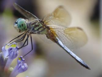 Dragonfly 8 by DazzlinDave