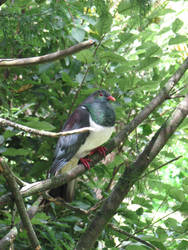 New Zealand Wood Pidgeon by Cybogoblin