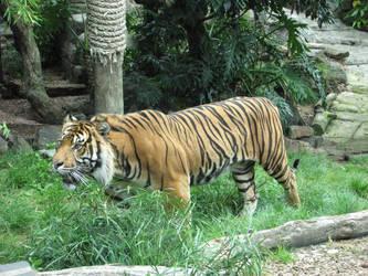 Sumatran Tiger by Cybogoblin