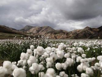 Cotton Fields by Izzyforreal