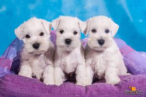 three little white miniature schnauzer puppies by Kirikina