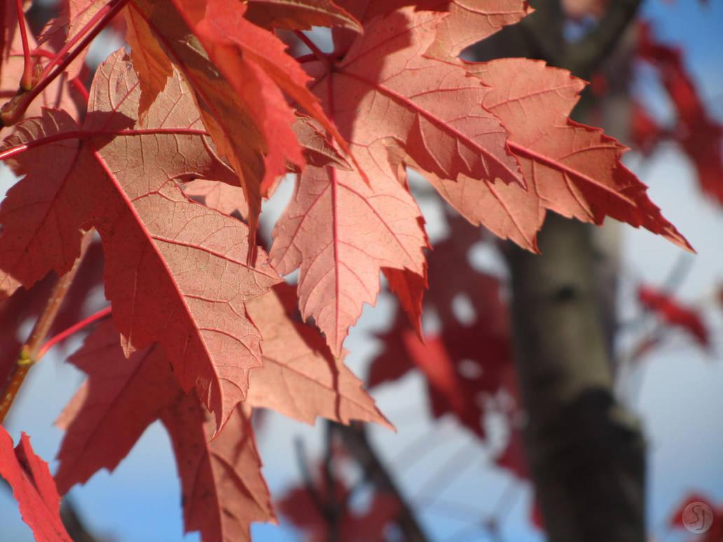 Sanguine Leaves Close-up by KamiMusubi