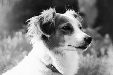 Family dog - Honey by weronicamc