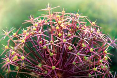 Beatifull Allium|Summer Garden collection comming by weronicamc
