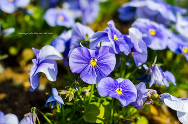Blue flowers by Canergnydn
