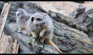 Meerkat II by d3lf