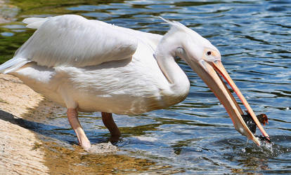 Pelican v Baby Duck IV by d3lf