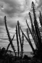 Columnar Pines by hosagu