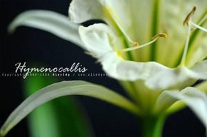 Hymenocallis - Sulphur Queen by AlexEdg