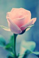 Rose - VII by AlexEdg