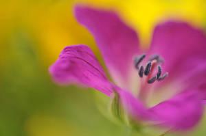 Pink Geranium by AlexEdg