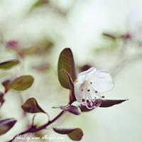 Rhododendron Dauricum - I by AlexEdg