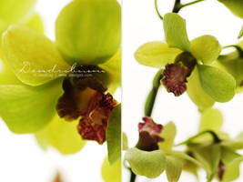 Orchid Dendrobium - I by AlexEdg