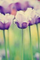 Tulips - II by AlexEdg