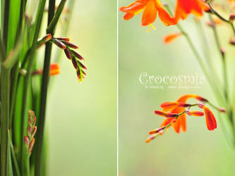 Crocosmia 03 by AlexEdg