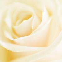 Rose - XV by AlexEdg