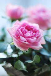 Roses - XVI by AlexEdg